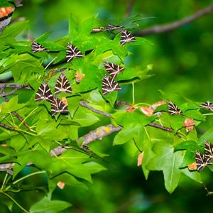 Vlinders zittend op de bladeren van een tak in de Vlindervallei Petoulades op Rhodos, Griekenland